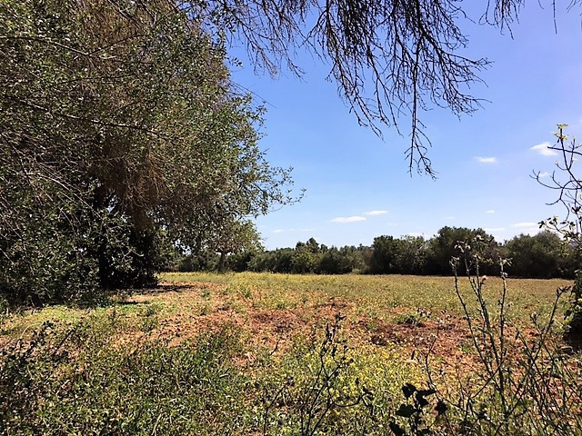 LAND OF 8000 m2, WITH TREES OF DRYWAY EXTENDED SITUATED BETWEEN SENCELLAS AND INCA IDEAL FOR HORSES, Spain